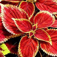 ingrosso cresce i semi di perenni-200 Semi Coleus indiano PcS Rosso Giallo Economici Esotici Selvaggina vivente Piante erbacee perenni a crescita rapida