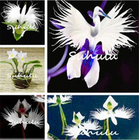 Wholesale rare decor - 100 pcs Japanese Tiger Orchid Seeds White and black Radiata Egret Orchid Seeds World's Rare Species Flower for home garden decor