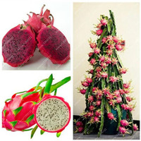 Wholesale Bonsai White - 100% Real Dragon fruit seeds white and red Pitaya seeds for home garden Non-GMO fruit seeds bonsai or potted plants 100 pcs bag