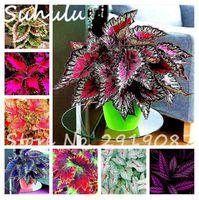 Wholesale garden dragons - 30 pcs coleus seeds foliage plants perfect color Arc-Dragon Seeds beautiful flower bonsai plant perennial garden semente mixed