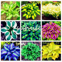 Wholesale Wholesale Lily Flowers Bags - 100 Pcs Bag Hosta Plants Seeds, Perennial Plantain Lily Flower Ground Cover Flower Seeds,Precious Hosta Seeds Home Garden Plant