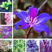 Wholesale orchid tree - Rare Purple Orchid Flower Tree Seeds 50 Pcs Fresh Beautiful Bauhinia Purpurea Seeds Flowering Trees Mix Color Beauty Your Garden