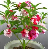 Wholesale impatiens flower - Impatiens balsamina flower seeds, balcony colorful Impatiens balsamina seeds 100 particles bag