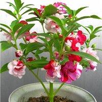 impatiens çiçek toptan satış-Impatiens balsamina çiçek tohumları, balkon renkli Impatiens balsamina tohumları 100 parçacıklar / çanta