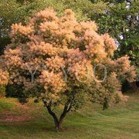ingrosso semi di albero ornamentali-Cotinus Coggygria Semi 40 pz, Piante ornamentali Fumo Bush Arbusto Semi, Design del Paesaggio Fumo Albero Seeds Spedizione Gratuita B63