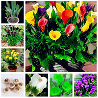 Wholesale Import Flowers - Sale! Calla Lily Seed Imported From Holland, Flower Lily Seed, Rare Plants Flowers Home Gardening DIY Garden Supplies-120 Pcs