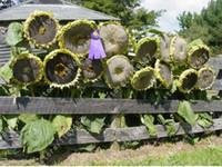 Wholesale Sunflower Seeds Wholesale - 40 Pcs Bag Giant Sunflower Seeds Rare Giant Big Flower Seeds Black Sunflower Russian Sunflower Seeds For Home & Garden