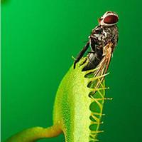 Wholesale venus flytrap seeds resale online - 30 Pack Potted Insectivorous Plant Seeds Dionaea Muscipula Giant Clip Venus Flytrap Seeds Carnivorous Plant