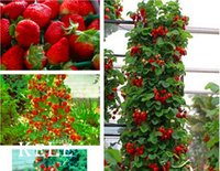 Wholesale red hot fruits - Hot Sale!200 Pcs Climbing Red Strawberry Seeds With SALUBRIOUS TASTE * NON-GMO Strawberry Mount Everest* EDIBLE * Fruit,#4Z0CJ2