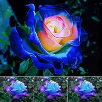 rosas exóticas al por mayor-Rare Blue Pink Roses Semillas de flores Patio Jardín Bonsai Decoración Hermoso Balcón exótico Macetas de rosas Planta de jardín 100 semillas por paquete