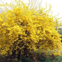 ingrosso bonsai trees-100 pz / pacco Semi di foraggio semi di forsizia Semi di piante da giardino Albero di bonsai Fiore E010