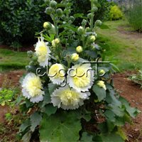 Wholesale garden cut flowers - Hollyhock Double Beige Flower 100 Seeds Ideal for garden groups as a backdrop for shorter plants for naturalistic garden and cutting