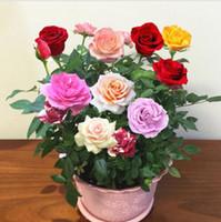 sementes de flores coloridas rosa venda por atacado-100 PCS Raro Preto Rosa Flor Sementes viável Colorido Jardim Flor Bonsai Planta Real Sementes Nova Decoração Para Jardim Bonito Exótico Varanda
