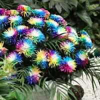 am schnellsten wachsende pflanzen großhandel-100x Regenbogen-Chrysantheme-Blumensamen Seltene und einzigartige Farbvielzahl Anlage