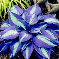 potes de plantas chinesas venda por atacado-30 pçs / saco plantas hosta sementes perenes Tanchagem Lily Flor Chão Flor sementes de flores preciosas hosta sementes casa jardim planta