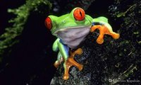 Wholesale frog animal figures online - Red Eyed Tree Frog Art Posters Print Photopaper inches