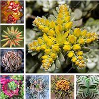 100 pcs Rare Rainbow Succulent Seeds Bonsai Plant Succulents Seeds Indoor Miniature Garden Bonsai Flower Seeds DIY Home Garden