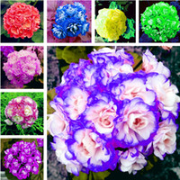 Wholesale Geranium Seeds - Big Promotion!!! 120 Pcs Geranium Seeds Perennial Flower Seeds Pelargonium Peltatum Seeds for Indoor Rooms, Purify The Air