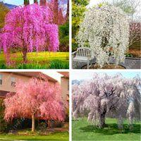 Wholesale sakura tree - 20 pcs bag Weeping Sakura Seeds, cherry blossom seeds, beautiful sakura tree bonsai pot plant tree flower seeds for home garden