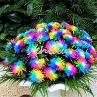 Wholesale rainbow chrysanthemum flower seeds for sale - Group buy 100 bag Rainbow Chrysanthemum Flower Seeds Ornamental Bonsai Rare Color New Choose More Chrysanthemum Seeds Garden Flower Plant