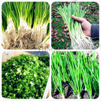 Wholesale chinese vegetables seeds resale online - 100pcs Spring Onion Seeds Giant Chinese Green Onion Seeds Chinese Vegetable Seeds Home Garden Bonsai Plant