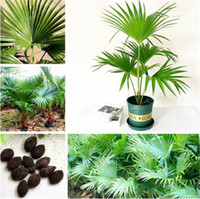 Wholesale Ornamental Trees - Trachycarpus Fortunei-10 Seeds - Outdoor Perennial plant palm tree seeds for Home Garden Plant tropical ornamental Tree seed