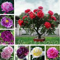 Wholesale chinese seeds - 15 Pcs Peony Tree Indoor Bonsai Plant Seed,Colorful Double Blooms Rare Chinese Peony Flower Seeds for Home Garden Free Shipping