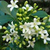 sementes de jasmim venda por atacado-2018 novas sementes de Murraya, Arbusto de Jasmim com Sementes de Flores Brancas Perfumado DIY Jardim de Casa 10 pçs / saco 100% sementes de ture