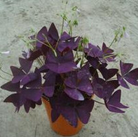 sementes de oxalis venda por atacado-1 embalagem original 2 pcs sementes Woodorrel Oxalis Vermelho, perene Ornamental sementes de flores