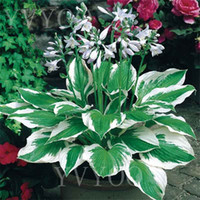 ingrosso giardino ornamentale-8 colori Hosta Semi Perenne Piantaggine Fiore, semi di bonsai, piante ornamentali per giardino di casa Ground Cover Plant 20 pz K01