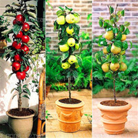 Wholesale Miniature Bonsai - 30 Pcs Bag Dwarf Apple Seeds Miniature Dwarf Bonsai Apple Tree Sweet Organic Fruit Vegetable Seeds Indoor Or Outdoor Plant For Home Garden