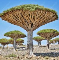ingrosso alberi perenni-10 pz / borsa Albero del sangue del drago (dracaena sanderiana) alberi dracaena Quattro stagioni piante perenni sempreverdi semi dell'albero semi di fiori