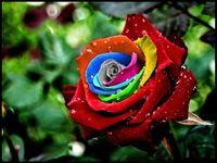 hermosas rosas moradas al por mayor-100 Colorido Rainbow Semillas de Rosa Púrpura Rojo Negro Blanco Rosa Amarillo Verde Azul Rosa Planta de Semilla Jardín Hermosa Flor Bonsai Balcón