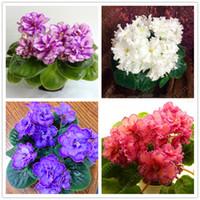 violette samen großhandel-100 teile / beutel african violet samen, bonsai blumensamen für hausgartenpflanze Mehrjährige Kräuter hohe knospende garten blumensamen