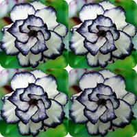 flores para jardines perennes. al por mayor-100 unidades Rare Negro Blanco Desierto Semillas de rosas Adenium Obesum Flor Plantas exóticas perennes Semillas de flores Floración Balcón Jardín Patio