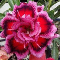 Wholesale seeds calla lilies for sale - 80 Bonsai Desert Rose Seeds Purple Red Flower Adenium Obesum Plant Perennial Flowers Seed Bloom Balcony Garden Plants Yard Gifts
