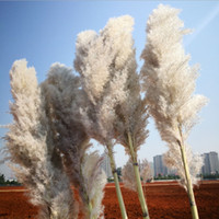 Wholesale decorations for weddings resale online - The New Phragmites Natural Dried Decorative Pampas Grass For Home Wedding Decoration Flower Bunch cm