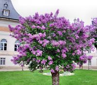 ingrosso semi di albero di bonsai giapponesi-100 pezzi colorati semi di lillà bonsai giapponese lilla (estremamente profumato) chiodi di garofano semi di fiori alberi lilla pianta da esterno per giardino di casa