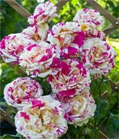 sementes de flores coloridas rosa venda por atacado-100 pçs / saco Rose Sementes, flor Colorida, não subiu flor bulbos Chinês Rosa Bonita Bonsai Sementes de vaso de Plantas para CasaJardim