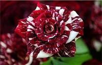 атласная лента бордовый оптовых-Красочно темно-красные и белые розы Семена цветов * 100 семян в упаковке * Балкон Цветы в горшках Садовые растения на продажу