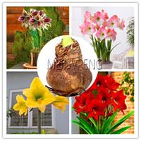 lírios de bulbos venda por atacado-New Plantas 2018! Bulbo Super Big Verdadeiros Amaryllis bulbos, plantas bonsai flores raras hippeastrum lâmpadas Barbados Lily vasos casa gar