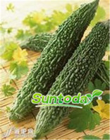 frei mehrjährige samen großhandel-Suntoday Bio Bitter Melon Gourd Ampalaya 2019 Hybrid Gemüsesamen