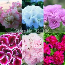 semi di rosa all'ingrosso arcobaleno Sconti 10 pezzi Semi di geranio 6 colori per Chose balcone in vaso, stagioni di piantagione, davanzale decorativo Crea il tuo giardino