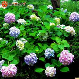 Semi di ortensia comune balcone in vaso pianta ortensia fiore in vaso pianta coltivazione semi 100 pezzi / lottp da