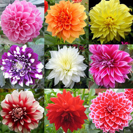 Tip ordinally yukako dahlia değil ampuller tohumları bonsai çiçekler-100 adet tohumları cheap dahlias seeds nereden dahlias tohumları tedarikçiler