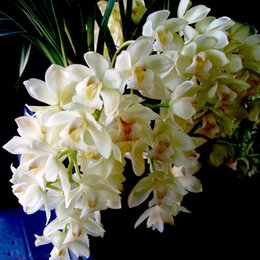 Rosa Branco Sementes de Cymbidium Varanda Bonsai Jardim Semente de Flor Orquídea Flores Sementes 100 Partículas um Pacote de Fornecedores de orquídeas rosa