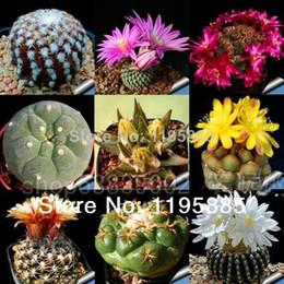 семена установлены Скидка Фея суккуленты Seeds30pcs/комплект предотвращения излучения мясистые семена,импортные кактус гибридных бонсай, семена суккулентных растений бесплатная доставка