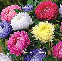 Semillas de aster online-Semillas de Aster chino de 30 semillas + (Callistephus) le dan un jardín lleno de flores de verano grandes paquete orginal Envío gratuito