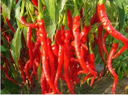 Wholesale Red Hot Chilli Peppers - Hot selling 100 pcs Of Long Red Pepper Seeds,hot pepper chilli seeds vegetable seeds free shipping