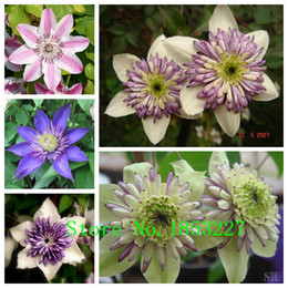 Wholesale Plants Seeds Bulbs - clematis bulbs, clematis seeds mix, clematis hybridas Climbing plants garden landscaping, 50 seeds bag